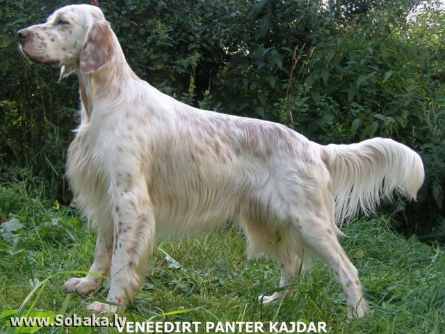 Dog kennel PORODA - ENGLISH SETTER