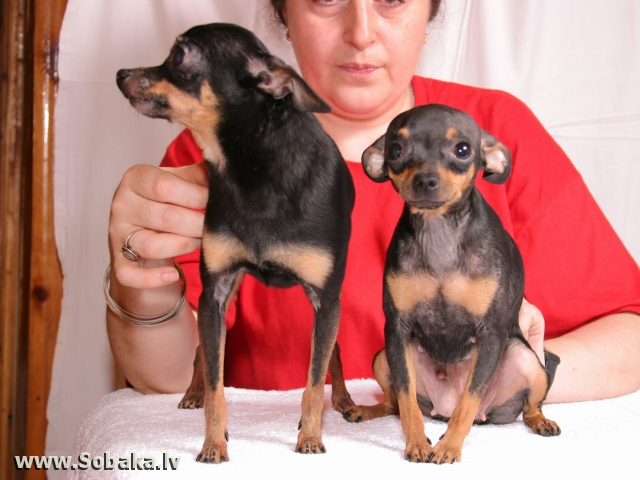 Russian Toy Terrier Esli Cherniy Brilliant