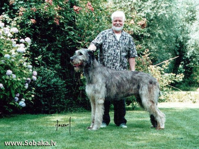 Irish Wolfhound Irish Wonder Von Der Oelmuhle