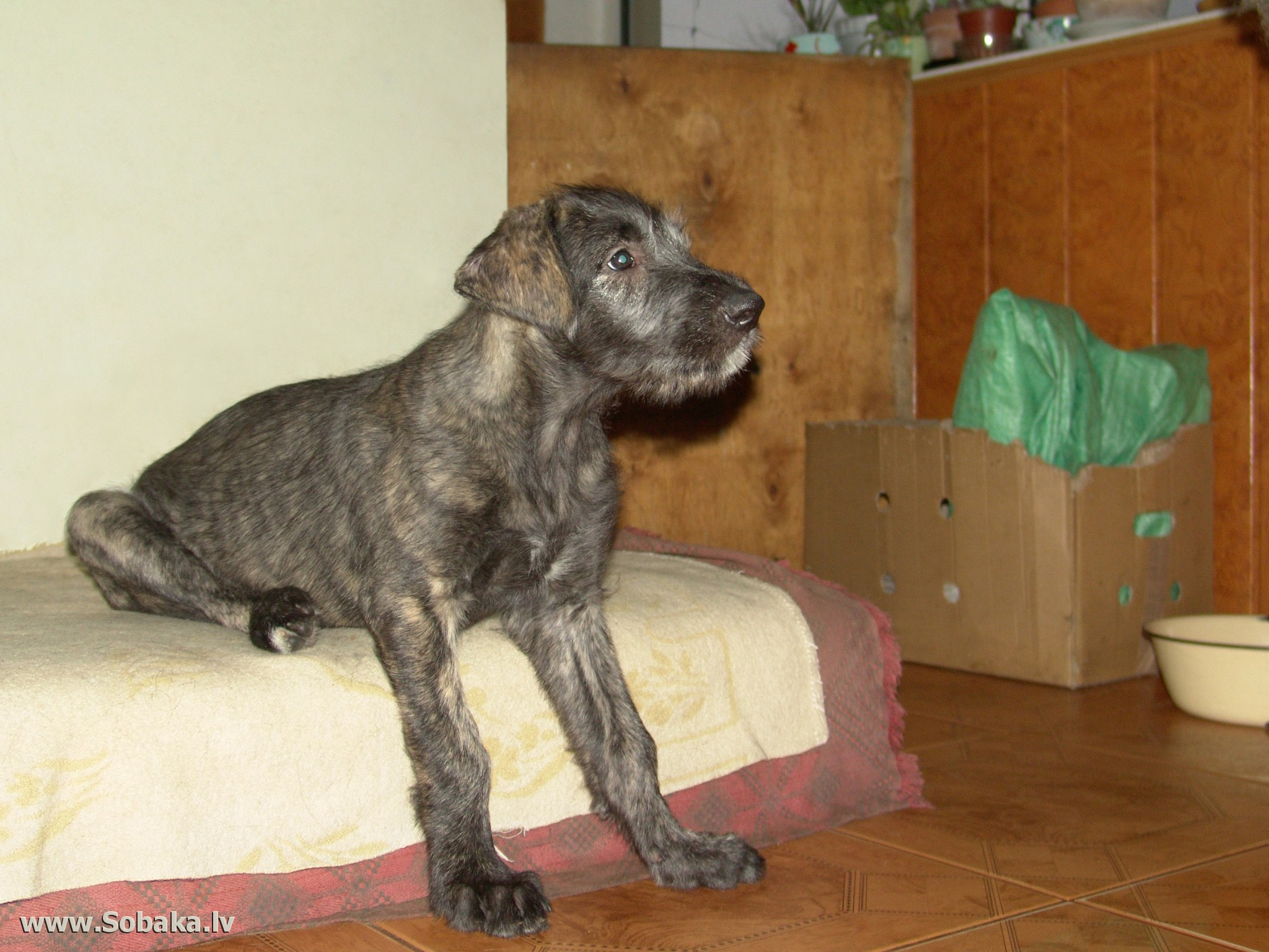 Irish Wolfhound   Фото 62830