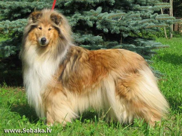 Collie Rough Monsolana Victories Star