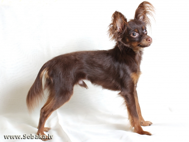 Собаки питомника «Милый Ангел». 