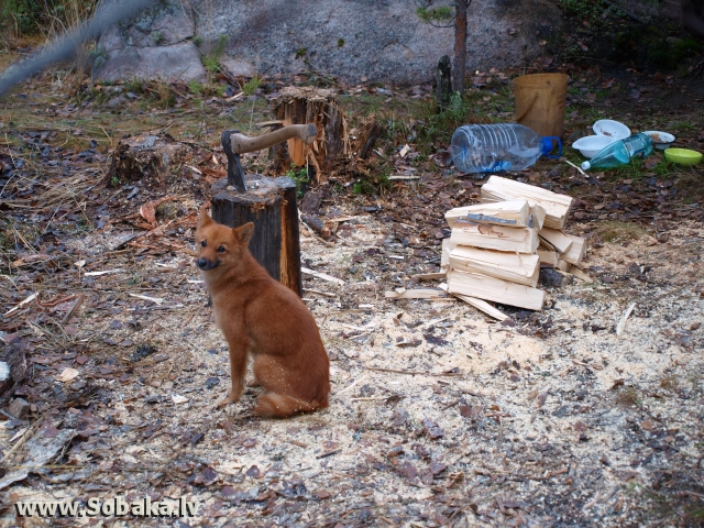 Finnish Spitz 