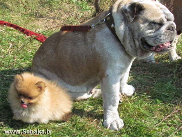 Бульдог английский и щенок. 
