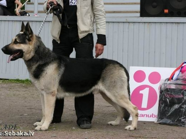 East evropean shepherd dog Veo Ross Hakan