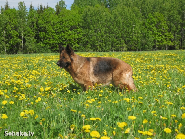 Заса выставка собак. 
