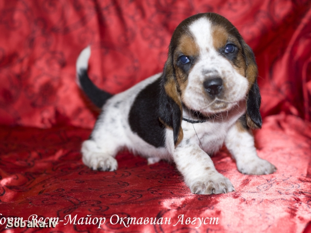 Basset Hound 