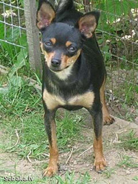 Russian Toy Terrier Zolushka Skazka O'Sharle
