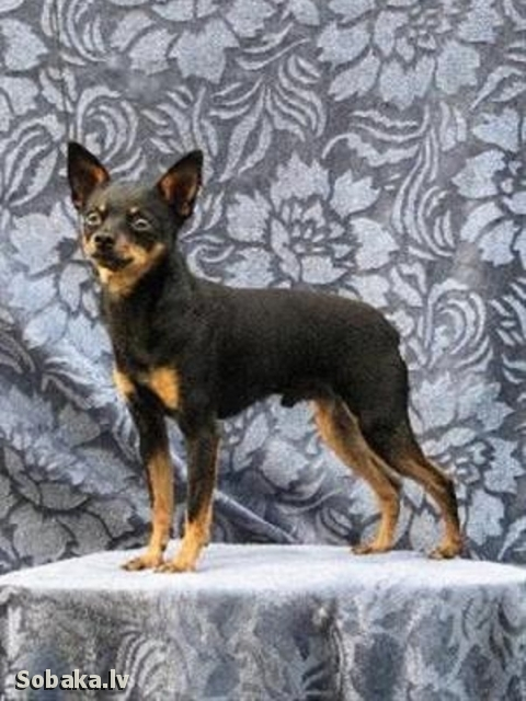 Russian Toy Terrier Nasledie Guliver