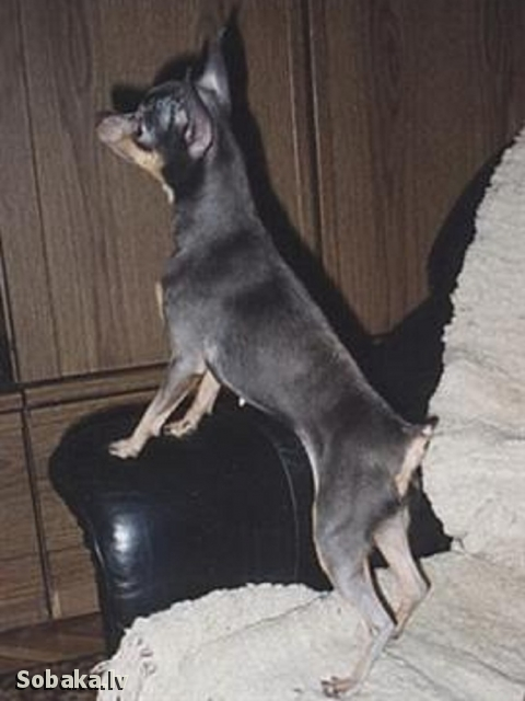 Russian Toy Terrier Лайза