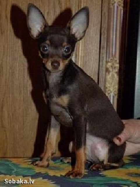 Russian Toy Terrier Ljubimchik Ljelik O'Sharle