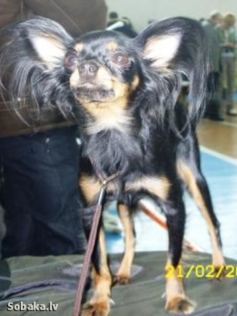 Russian Toy Terrier Sher Barhat