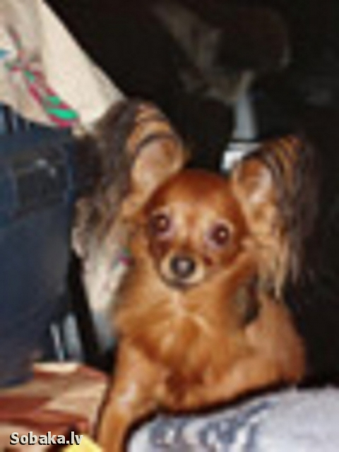 Russian Toy Terrier Sher Elf Leon