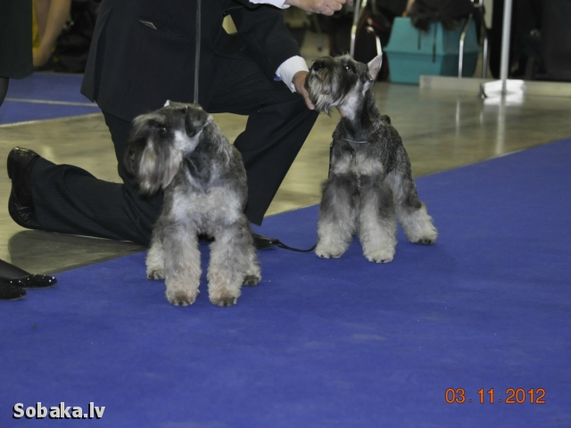 Цвергшнауцер FIL VAN TIP-TOP ALFA ROMEO. 