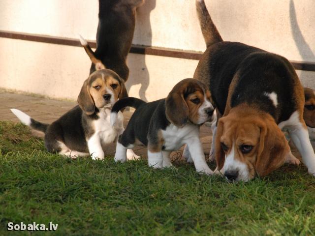 Породы собак с фотографиями и названиями бигль