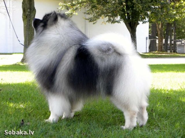 German Spitz - Keeshond 