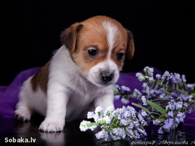 Сука бело рыжая. 