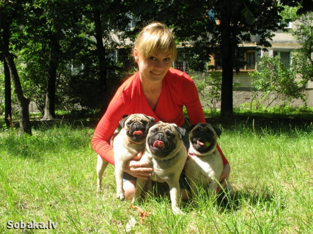 Наши мопсы. 