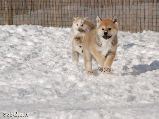 Japanese Akita Inu 