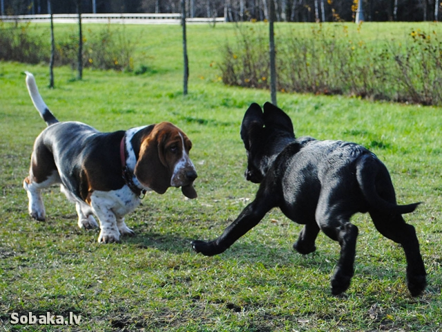 Basset Hound Betty