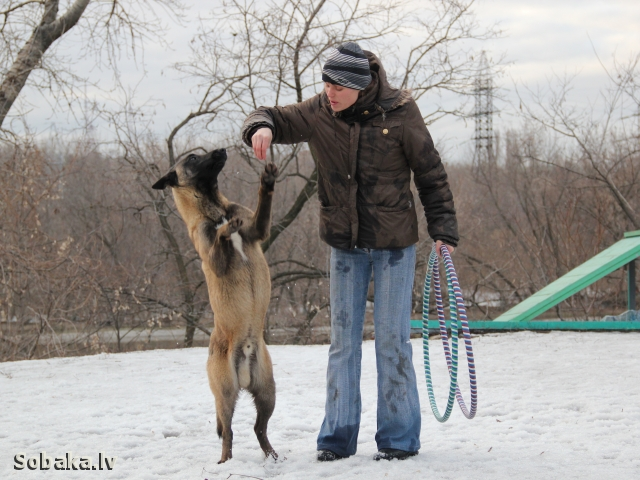 Фото Продам щенков Малинуа. Собаки, щенки, Донецк и область, Донецк