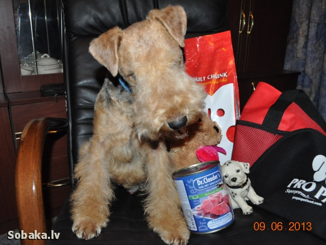 Lakeland Terrier 