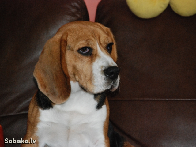 Beagle Gold Lady Vuk