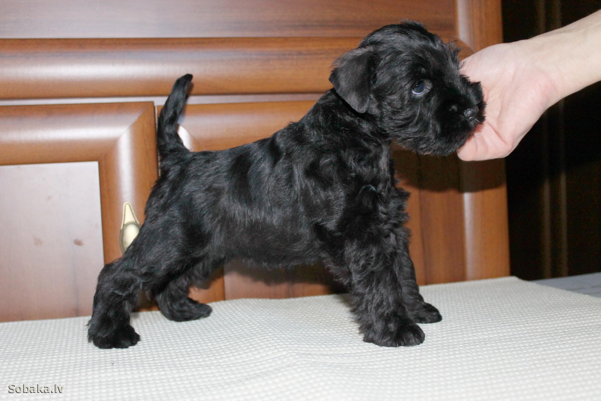 Продаются щенки цвергшнауцера (миниатюрного шнауцера), белого окраса от родителей-чемпионов