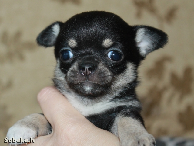 Вива Виктория. 