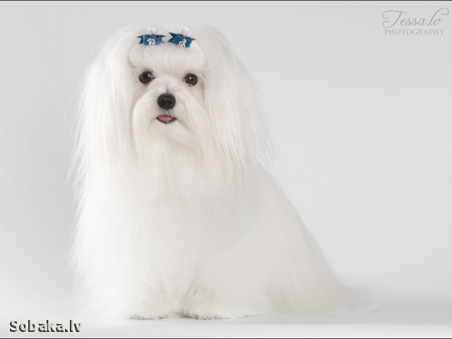 Maltese 