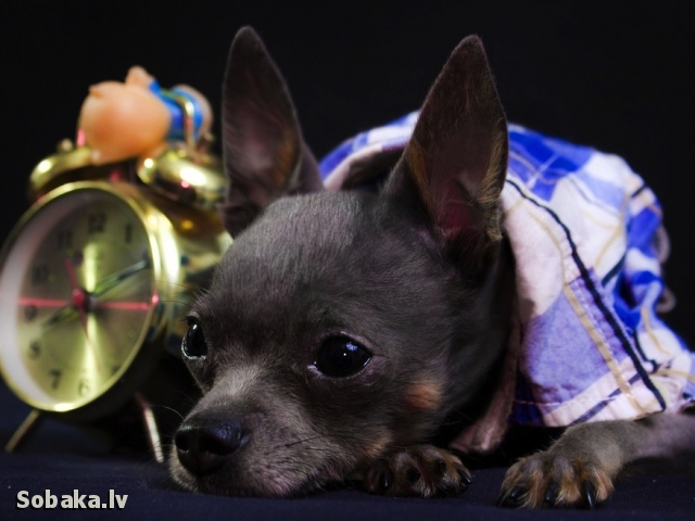 Russian Toy Terrier Letyaschaya Babochka Zacharovannyy Strannik
