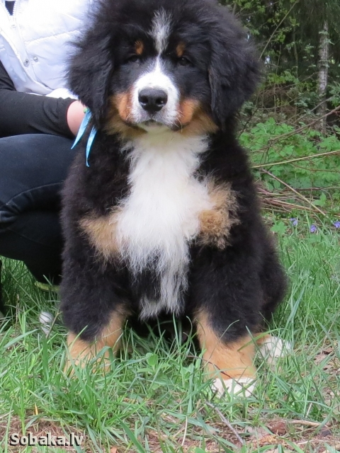 Мальчик берненыш. 
