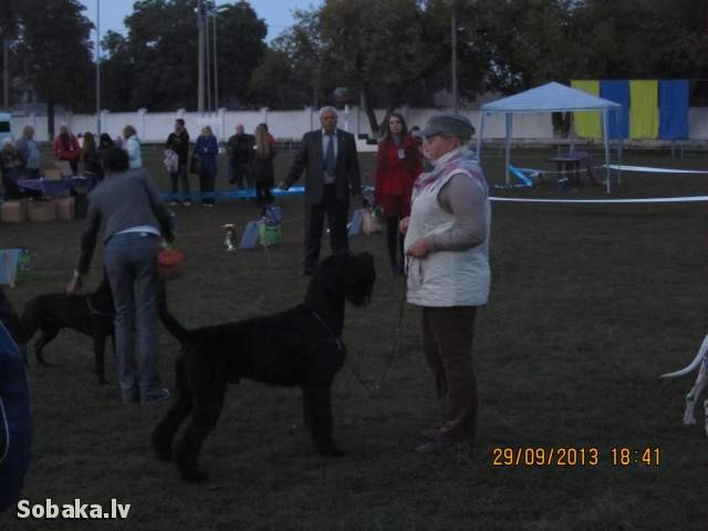 Giant Schnauzer 