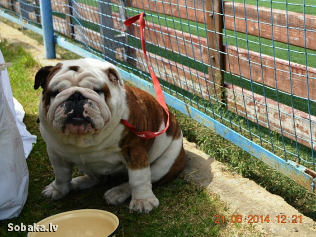 Чемпион Породы Английский бульдог. 