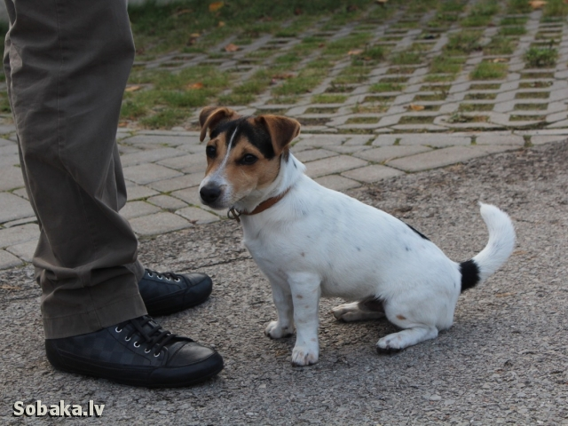 Jack Russell Terrier Barney Of Jacky Dream