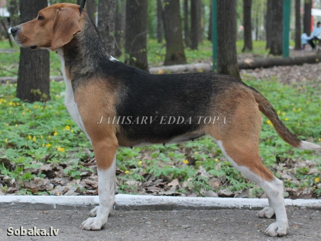 Эстонская гончая Jahisarv Edda Topa. 
