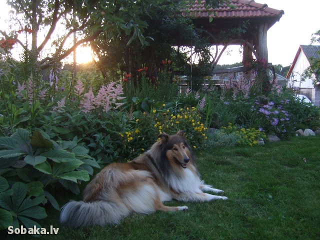 Collie Rough 