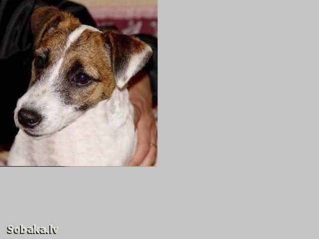 Jack Russell Terrier Bola Od Zemku
