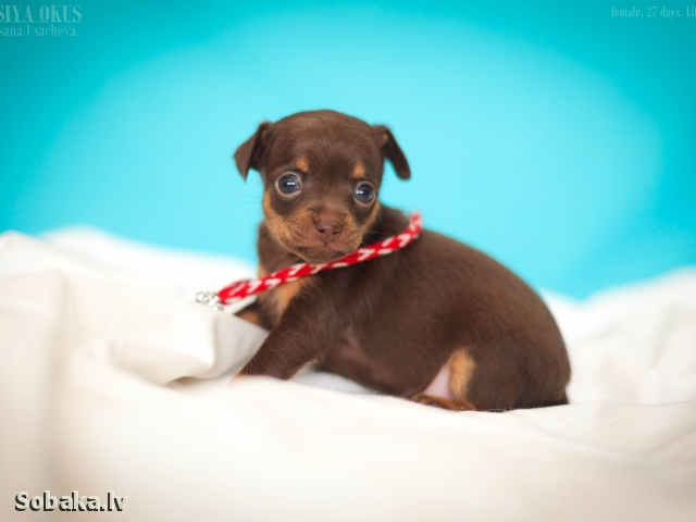 RUSSIAN TOY TERRIER => DOG KENNEL  