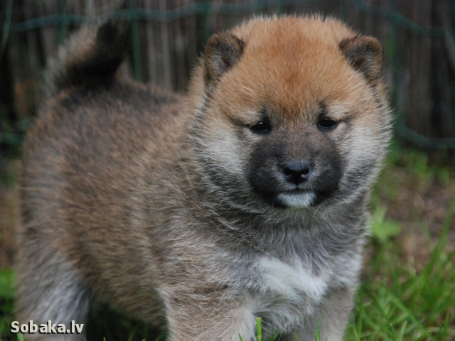 Shiba 