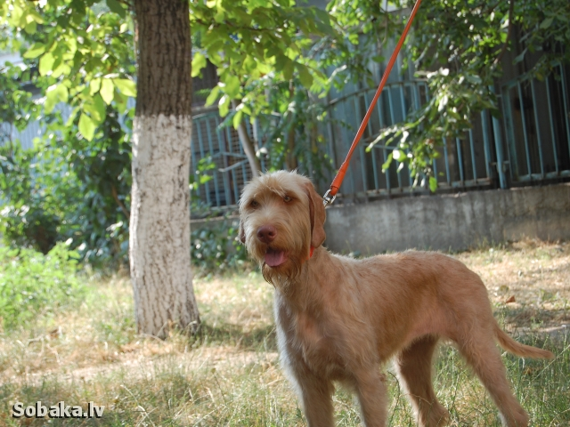 Hungarian Wire-haired Pointing Dog