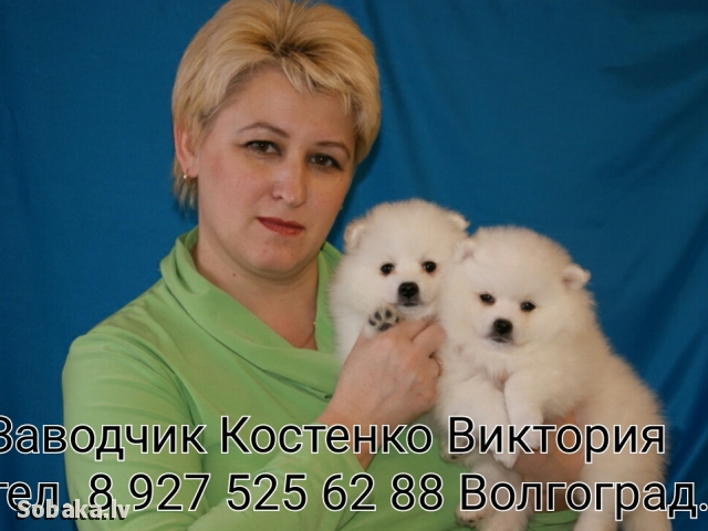 Japanese Spitz 