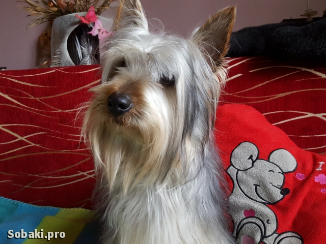 Australian Silky Terrier 