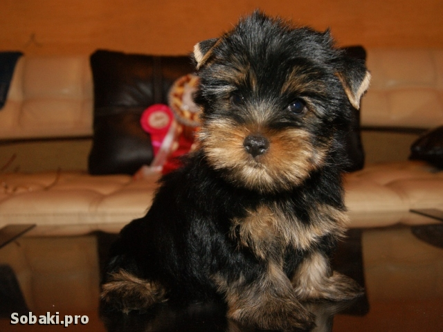 YORKSHIRE TERRIER => PHOTOS  