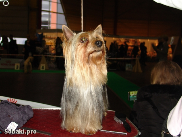 BOB - Лучший представитель породы. 