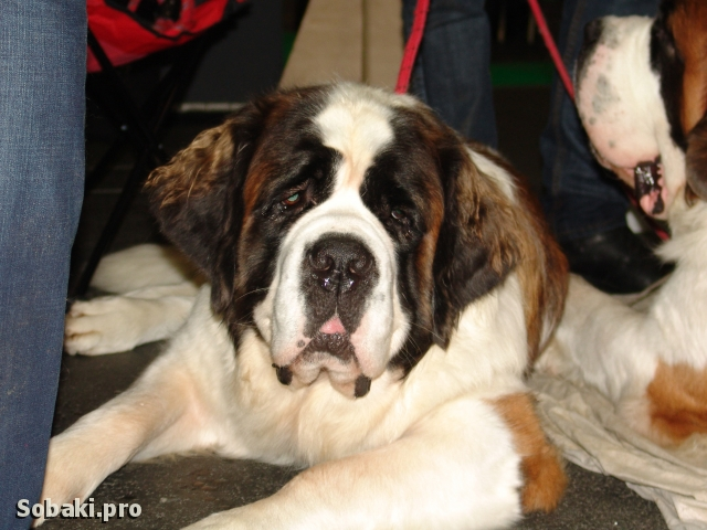 Saint Bernard Dog