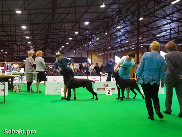 ITALIAN CORSO DOG => PHOTOS  