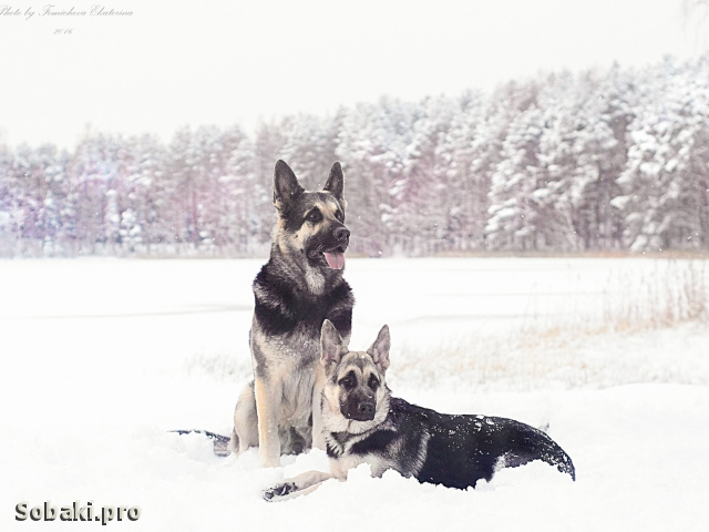EAST EVROPEAN SHEPHERD DOG => PHOTOS  
