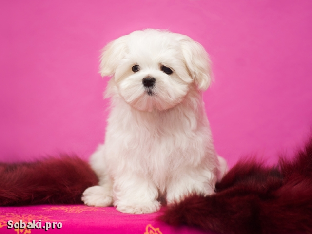 MALTESE => THE DOG  