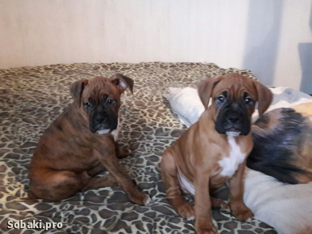 GERMAN BOXER => PHOTOS  
